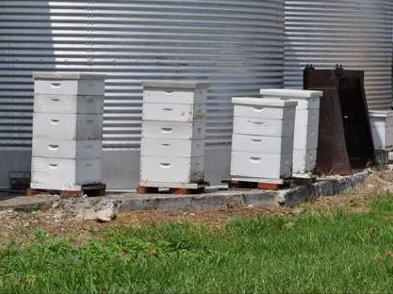 Local Honey bee yard